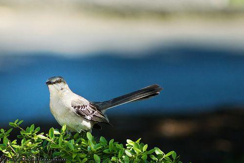 Norhtern Mockingbird - fini